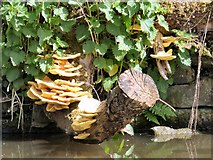 SJ9398 : Fungi by the canal by Gerald England