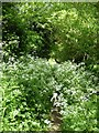 SO8642 : Cow parsley on Donkey Lane by Philip Halling