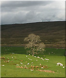 SD7880 : Tree and sheep by Gayle Beck by Karl and Ali