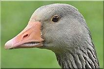 J4774 : Greylag geese, Kiltonga, Newtownards - May 2016(2) by Albert Bridge