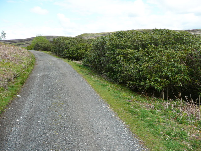 Rhododendrons alongside the driveway past Walshaw Dean Middle Reservoir