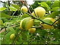 TQ1478 : Lemons at Osterley Park, Isleworth by pam fray