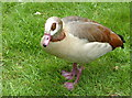TQ1477 : A goose at Osterley Park, Isleworth by pam fray