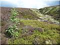 SD9733 : Rowan sapling and Nigher Graining, Wadsworth Moor by Humphrey Bolton
