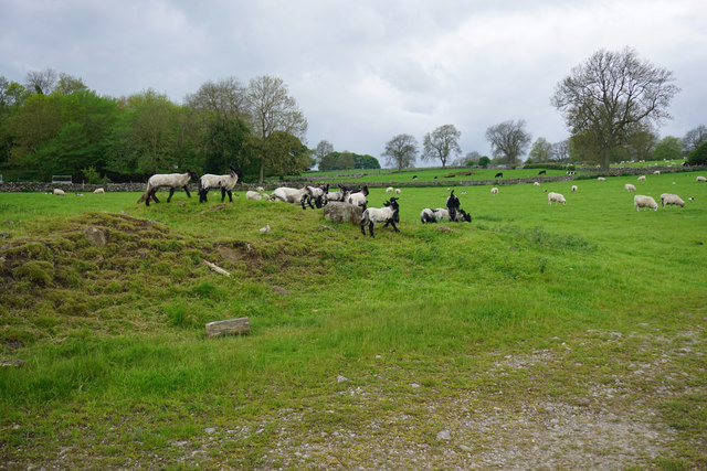 Frolicking lambs near Youlgrave