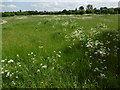TQ4677 : Cow parsley on East Wickham Open Space by Marathon