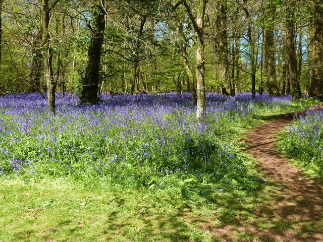 Bluebells on the walk from the car park to the house, Lanhydrock, Bodmin, Cornwall