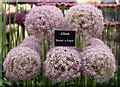 TQ2877 : Allium, Chelsea Flower Show by Oast House Archive