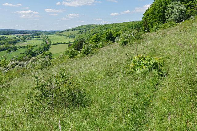 Chalk grassland, Denbies Hillside