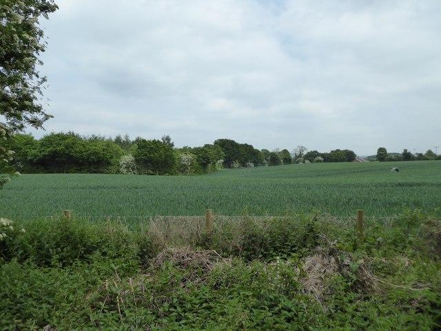Barley field alongside Merelake Way
