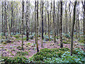 NY5661 : View through trees, Miltonrigg Woods by Rose and Trev Clough