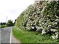 TQ8861 : Hawthorn blossom alongside Hearts Delight Road by Marathon