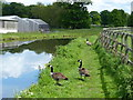 SK6279 : Canada geese on the towpath of the Chesterfield Canal by Mat Fascione