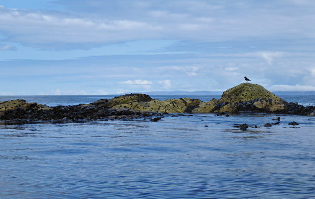 Oystercatcher on a tidal rock east of Màithidh Glas