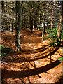 NZ8901 : Pine Needle Path by Scott Robinson