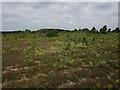 SU2609 : Bracken and birch on Acres Down by Hugh Venables