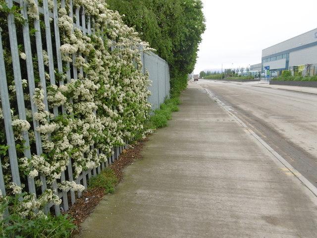 Hawthorn blossom alongside Chequers Lane