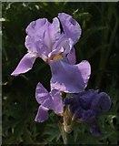 TQ2879 : Iris, Hyde Park by Derek Harper