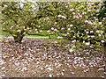 SW8339 : Carpet of fallen petals, Trelissick Gardens, Cornwall by Derek Voller