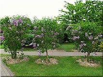 SK1814 : National Memorial Arboretum: lilac bushes by Stephen Craven