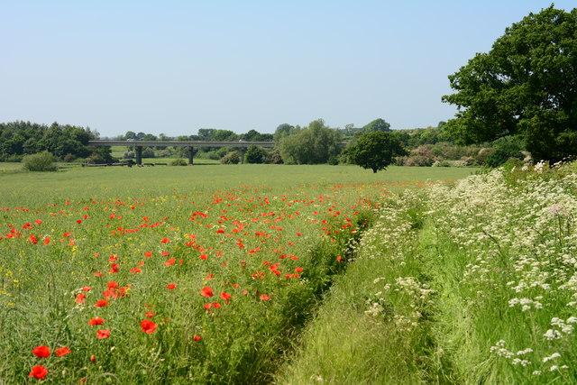 Poppies in a field near Polesworth
