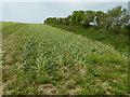 SW3925 : Daffodil Crop near Alsia Farm by James Emmans