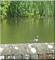TQ5509 : Pied Wagtail (Motacilla alba yarrellii) by Rob Farrow