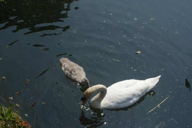 View of a swan and cygnet on the River Lea