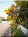 SU6268 : Laburnum in flower on Church Lane by David Howard