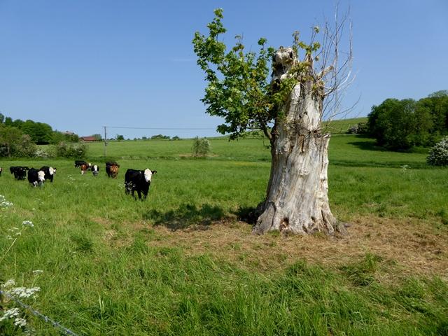 Tree stump and bullocks