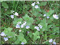 NN7301 : Speedwell at Easter Hill Wood by M J Richardson
