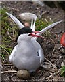 NU2135 : Inner Farne: A Defensive Arctic Tern On The Nest by James T M Towill