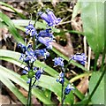 SJ9493 : Bluebells at Pole Bank by Gerald England