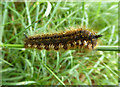 SU2980 : Drinker Moth caterpillar on bridleway to Park Farm by Vieve Forward