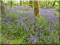 SW5931 : Bluebells at Godolphin House  gardens by Derek Voller
