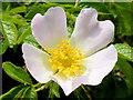 SO3816 : Wild rose, Rosa rugosa by Jonathan Billinger