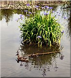 SJ9090 : Duck and duckling in Vernon Park by Gerald England