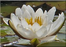 SJ9090 : Water lily by Gerald England