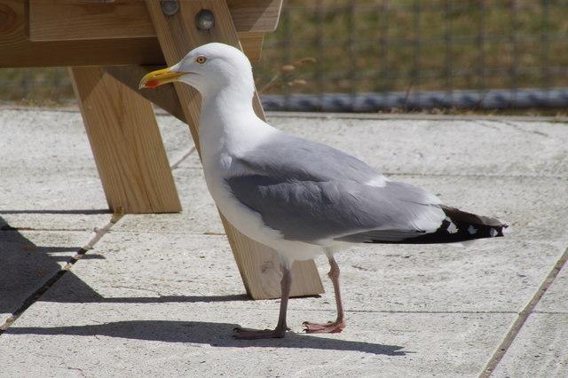 Herring Gull (Larus argentatus), Scalloway