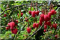 "SW9147 : Trewithen House and Garden: ""Crinodendron hookerianum"" 2 by Michael Garlick"