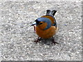 H9898 : A cheeky chaffinch, Newferry by Kenneth  Allen