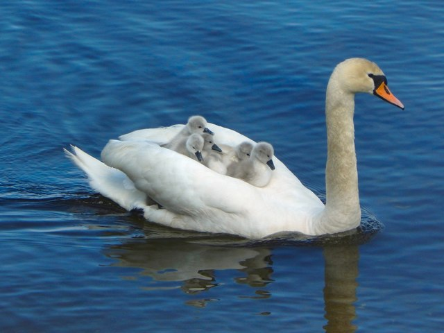 Swan carrying five cygnets