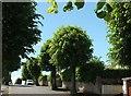 SX9065 : Trees on Parkhurst Road, Torquay by Derek Harper