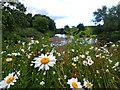 NZ2751 : Ox Eye Daisies on the bank of the Wear by Mick Garratt