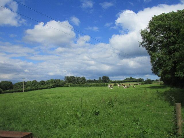 Grazing cattle near Ballynoe