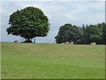 SJ5509 : Fallow deer in Attingham Park by Philip Halling