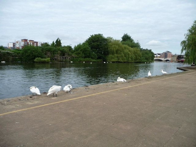 Swans on the Nene at Peterborough