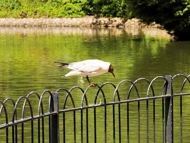 Black-headed Gull Black-headed Gull (Chroicocephalus ridibundus) at Queen's park Lake
