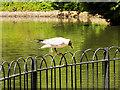 SD7009 : Black-headed Gull Black-headed Gull (Chroicocephalus ridibundus) at Queen's park Lake by David Dixon