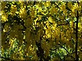NS3978 : Laburnum blossoms by Lairich Rig